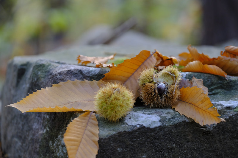 CHESTNUTS AND MARRONS, DIFFERENCES, BENEFITS, AND NUTRITIONAL VALUES